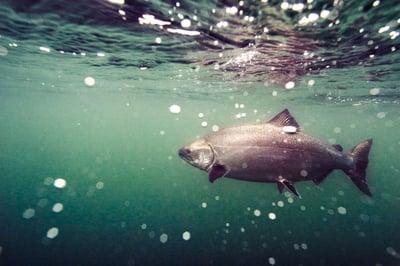 king salmon under water